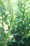 Rosemary Herb fraîche se développent extérieure Fermez-vous vers le haut des feuilles de romarin Usines saines d'assaisonnement d Photo libre de droits