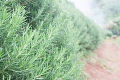 Rosemary Herb fraîche se développent extérieure Usines organiques fraîches d'assaisonnement Photos stock