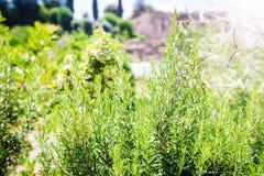 Rosemary Herb fresca cresce exterior imagem de stock royalty free