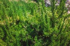 Rosemary Herb fresca cresce exterior fotografia de stock