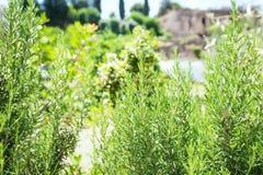 Rosemary Herb fresca cresce exterior imagens de stock