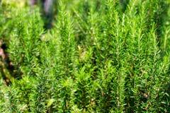Rosemary Herb fresca cresce exterior O alecrim sae do close-up imagem de stock