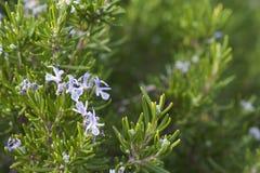 Rosemary Herb fresca si sviluppa all'aperto Fotografie Stock