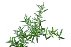 Rosemary herb Stock Photo