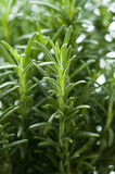 Rosemary herb growing Royalty Free Stock Images
