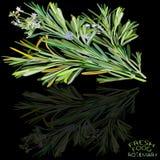 Rosemary herb Stock Image
