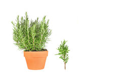 Rosemary Herb and Leaf Sprig Royalty Free Stock Photo