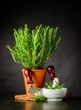 Rosemary Herb med Mezzaluna och mortelstöt och mortel royaltyfri bild