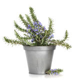 Rosemary Herb Plant royalty free stock photo