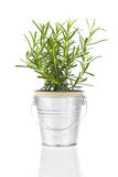 Rosemary herb plant growing in a distressed pewter pot Royalty Free Stock Photography