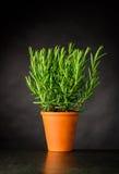Rosemary Herb Plant Growing im Topf stockfotografie