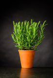 Rosemary Herb Plant Growing in Pot. Fresh Rosemary Culinary Plant Growing in Pottery Pot stock photography
