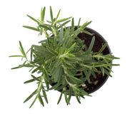 Rosemary herb plant. Over white background stock photography