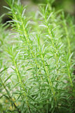Rosemary herb plants Stock Photos