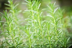 Rosemary herb plants Stock Images