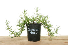 Rosemary herb in a pot. Rosemary garden herb in a pot on a wooden bench stock photos