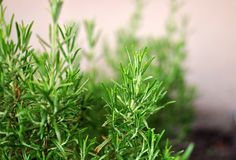 Rosemary Herb que cresce exterior em um jardim, ervas mediterrâneas f fotos de stock royalty free