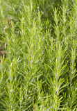 Rosemary herb shrub Stock Photography