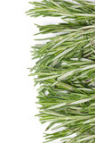 Rosemary Herbal Frame. Royalty Free Stock Image