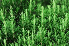 Rosemary herbs. Close up of rosemary herbs field. Shallow deep of field Royalty Free Stock Photography
