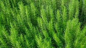 Rosemary is het geurige kruid eetbare bosrijke eeuwigdurende installatie met groen naaldachtige bladeren in traditionele Engelse  royalty-vrije stock afbeelding
