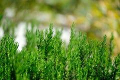 Rosemary het groeien wildernis in Portugal Royalty-vrije Stock Foto