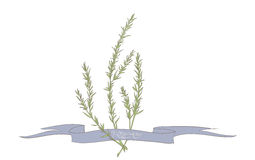 Rosemary illustration. Rosemary hand drawing vector illustration Royalty Free Stock Photos