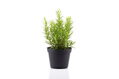 Rosemary inside a black pot Royalty Free Stock Photo