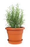 Rosemary installatie in plastic pot Stock Afbeeldingen