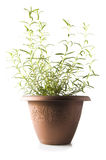 Rosemary isolated Stock Images