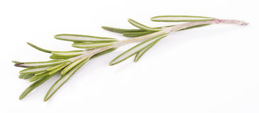 Rosemary isolated. Fresh rosemary isolated on white background Royalty Free Stock Photo