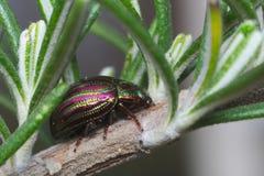 Rosemary-Käfer (chrysolina Americana) Stockbilder