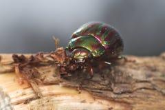 Rosemary-Käfer (chrysolina Americana) stockfotos