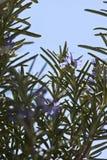 Rosemary kruid in bloei Royalty-vrije Stock Afbeeldingen
