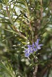 Rosemary kruid in bloei Royalty-vrije Stock Afbeelding