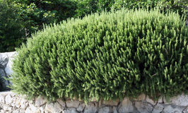 Rosemary. Large shrub of rosemary in the garden at the Mediterranean coast. Rosemary is an evergreen perennial with a pleasant fragrance, suitable for hedges or Royalty Free Stock Photo