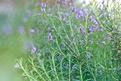 Rosemary and lavender Stock Photo