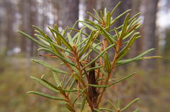 In rosemary Ledum pal stre growing swamp,macro landscape selective focus Royalty Free Stock Photo