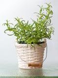 Rosemary met waterdalingen in een vaas Stock Afbeeldingen