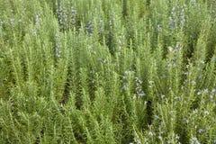 Rosemary (officinalis de Rosmarinus) Photographie stock