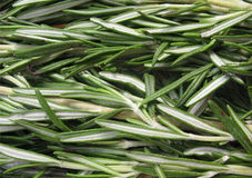 Rosemary (officinalis de Rosmarinus) Photographie stock