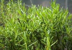 Rosemary (officinalis del Rosmarinus) Fotografía de archivo