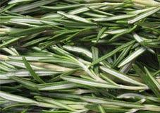 Rosemary (officinalis del Rosmarinus) Fotografia Stock