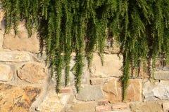 Rosemary op een steenmuur Stock Foto's