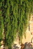 Rosemary op een steenmuur Royalty-vrije Stock Afbeeldingen