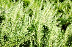 Rosemary op gebied stock afbeelding