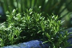 Rosemary organique fraîche Image libre de droits