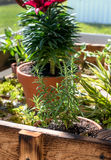 Rosemary and other Spices. Rosemary spice plant in pot along with other spices royalty free stock photo