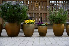Rosemary and Pansy pots in a row royalty free stock photography