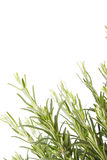 Rosemary plant Royalty Free Stock Images
